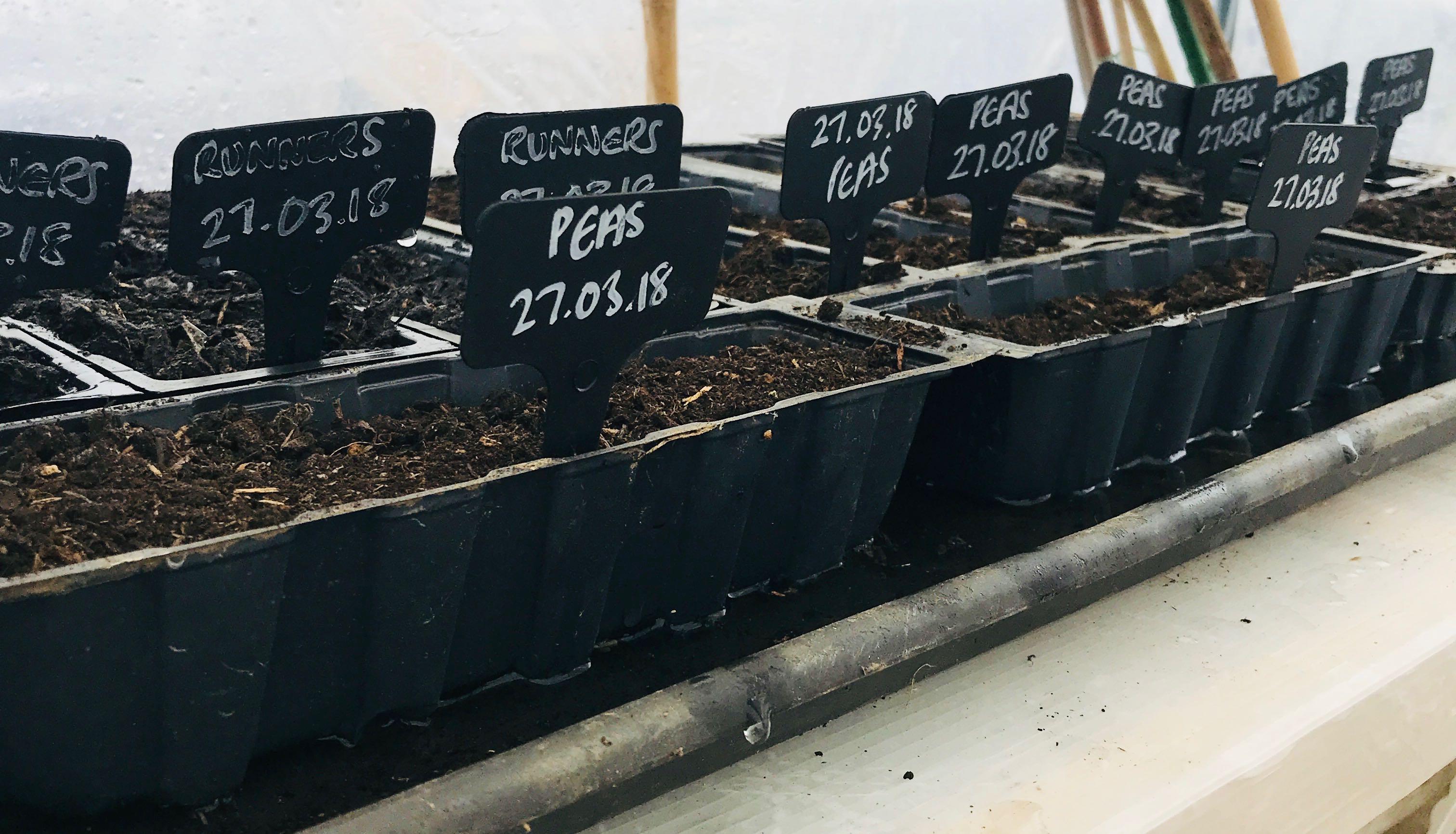 sowing peas in spring