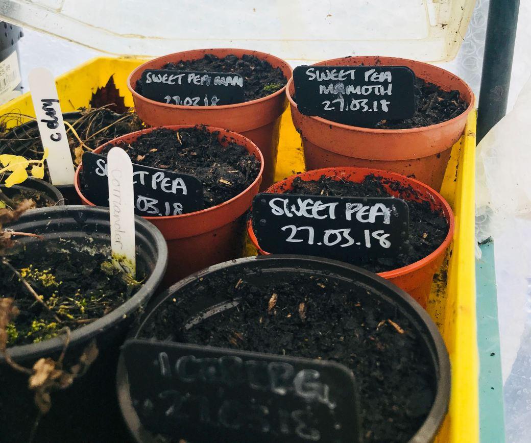 sweet pea sowings
